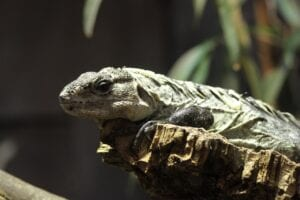 chuckwalla-in forest