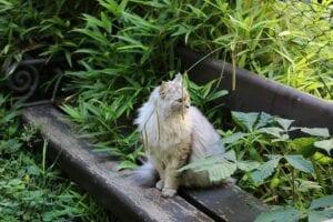 longhair-feral -cat-