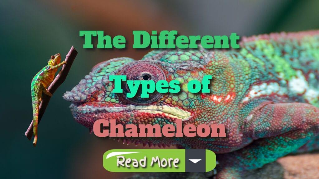 the different types of chameleons